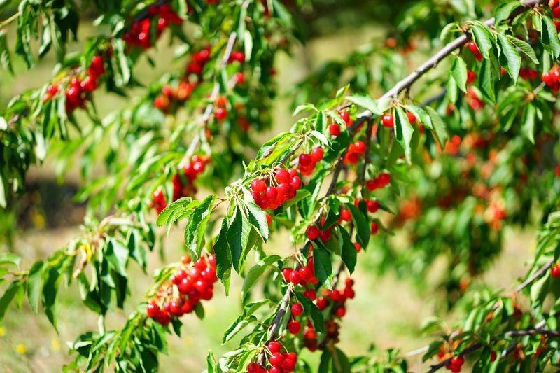 Drzewa owocowe – jakie wybrać?